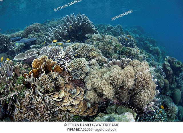 Healthy Coral Reef, Acropora sp., Raja Ampat, West Papua, Indonesia