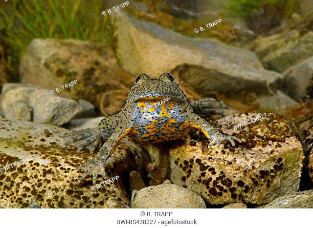 yellow-bellied toad, yellowbelly toad, variegated fire-toad (Bombina variegata, Bombina variegata scabra), front vie, under water, Greece, Pindos