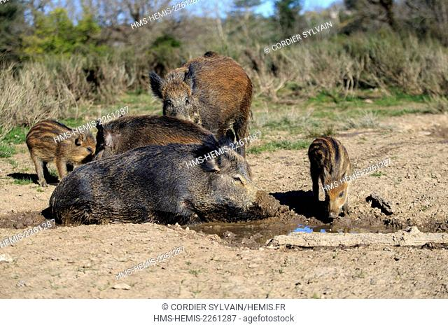 France, Haute Saone, Private park, Wild Boar (Sus scrofa), sow with pigletsdrinking from a puddle