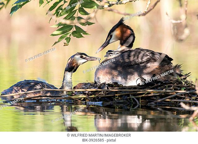 Great Crested Grebe (Podiceps cristatus) feeding, at the nest, North Hesse, Germany