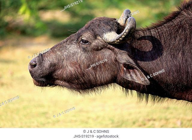 Water Buffalo, (Bubalis bubalis), adult portrait, Bundala Nationalpark, Sri Lanka, Asia