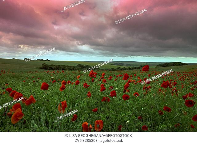A field of Poppies - Papaver rhoeas on the South Downs National Park, East Sussex, England, Uk, Gb