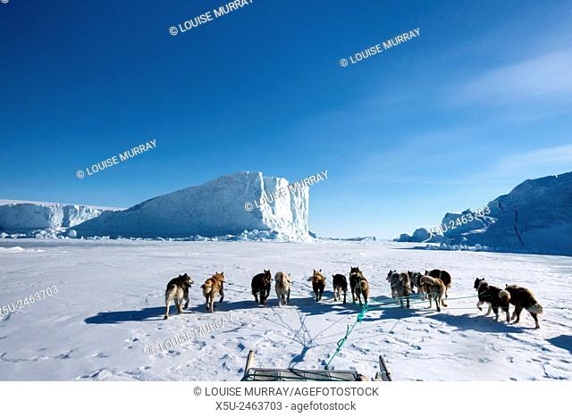 Inuit hunter and his dog team travelling on the sea ice. Dog teams must be rested every hour for 10 minutes