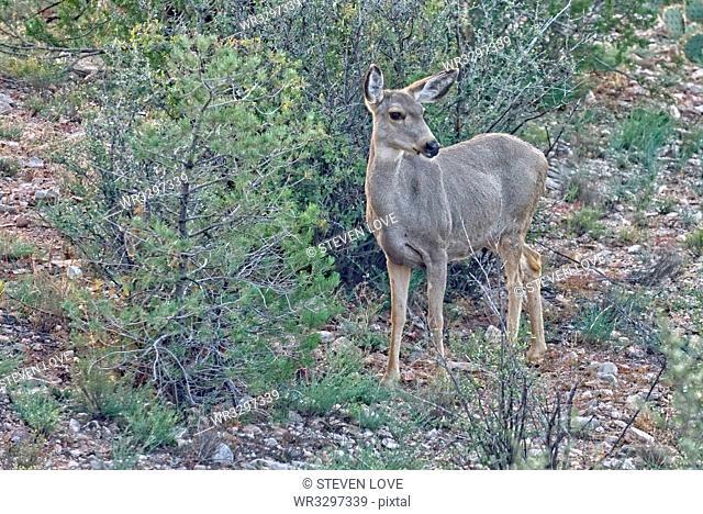 A Mule Deer native to Arizona roaming the forest near Prescott, Arizona, United States of America, North America