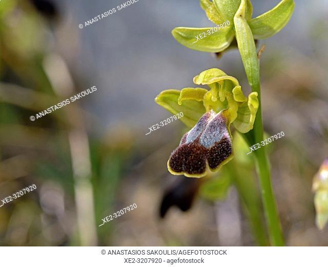 Ophrys creberrima, Crete