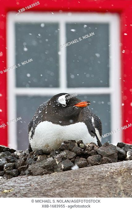 Adult gentoo penguin Pygoscelis papua in front of the hut at Port Lockroy, Antarctica, Southern Ocean
