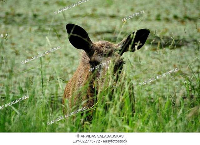 Der Elch (Alces alces)