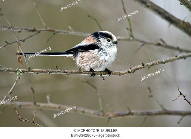 long-tailed tit (Aegithalos caudatus), sitting on a twig, side view, Germany