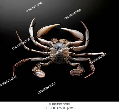 Bottom view of crab against black background