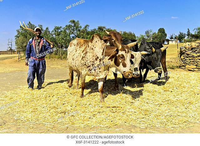 Traditional threshing of Teff (Eragrostis tef) by making Zebu cattle walk in circles on the grain, Hawzien Plateau, Tigray, Ethiopia
