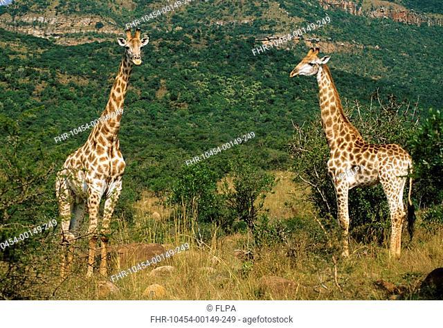Cape Giraffe Giraffa c giraffa Two standing - South Africa S