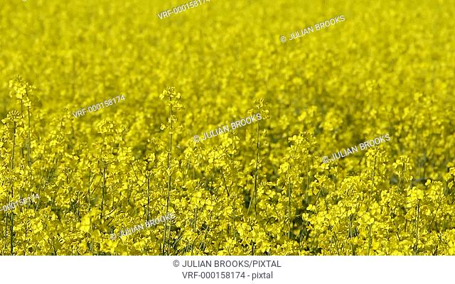 A field of yellow rape Brassica napus, background, seamless loop