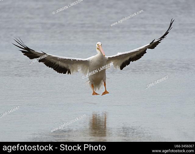 American White Pelican Ding Darlin, Sanibel, Florida, USA