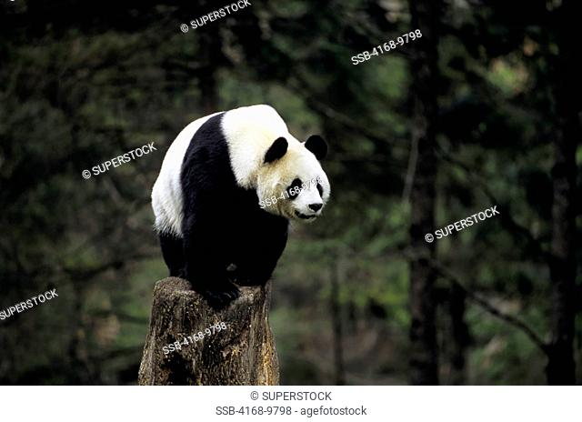 China, Sichuan Province, Wolong Panda Reserve, Giant Panda Ailuropoda Melanoleuca On Tree Stump