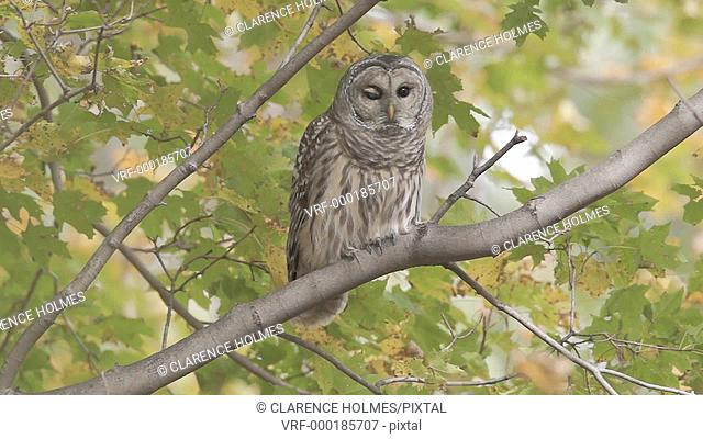 A Barred Owl Strix varia takes flight from a Maple tree branch on an Autumn afternoon