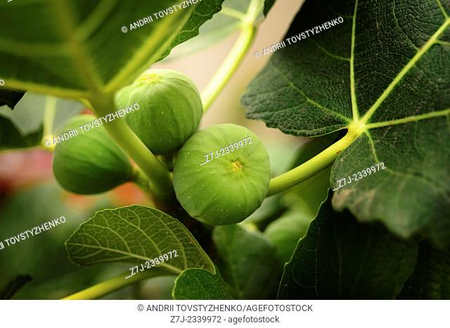 green figs on a branch