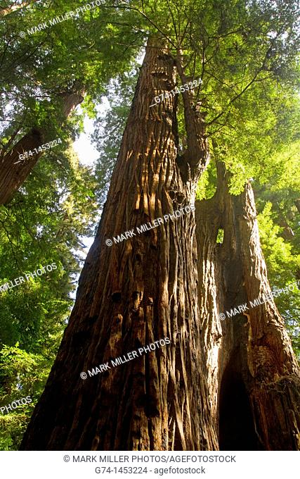 Coastal Redwood Tree, California, USA, Sequoia sempervirens