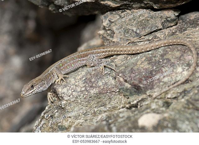 Atlantic lizard (Gallotia atlantica mahoratae). Female. Esquinzo ravine. La Oliva. Fuerteventura. Canary Islands. Spain