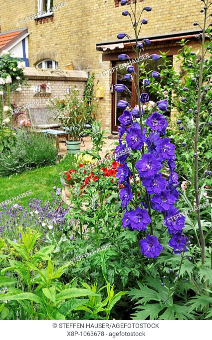 Larkspur Delphinium Black Knight in a backyard garden  Design: Jutta Wahren
