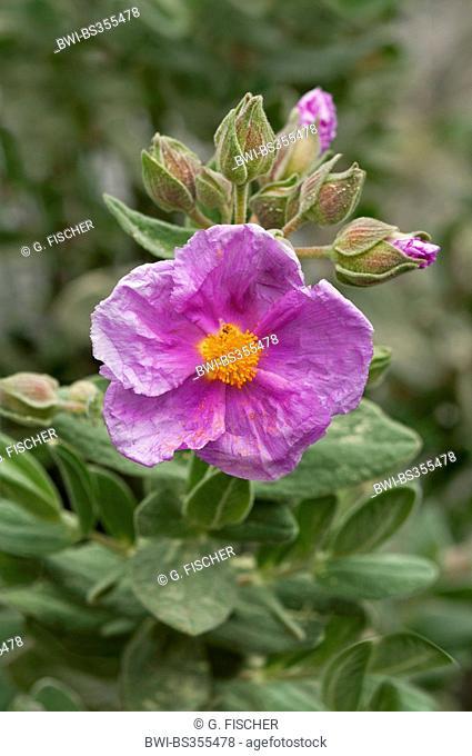 White-leaved Rockrose, Grey-leaved Cistus (Cistus albidus), blooming, Spain, Andalusia, Sierra de Grazalema Natural Park
