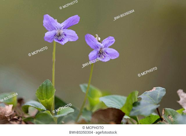 early dog-violet (Viola reichenbachiana), blooming, Germany