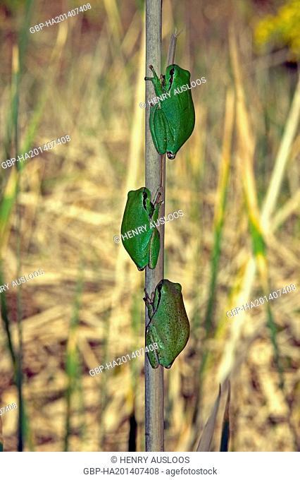 Stripeless Tree Frog (Hyla meridionalis) - Camargue - France, Europe - April 2004