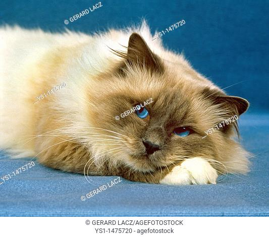 Birmanese Domestic Cat, Adult laying down