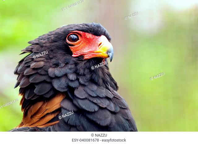 Closeup of the head of a Bateleur