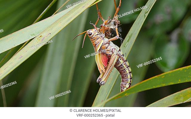 An Eastern Lubber Grasshopper (Romalea microptera) adult molts from the nymphal stage while hanging from a palm frond near the Mahogany Hammock trail in...
