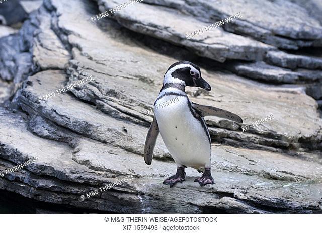 Magellanic Penguin Spheniscus magellanicus