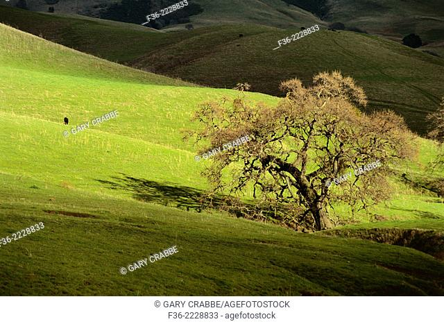 Oak tree and cow in pasture, Mt. Diablo State Park, Contra Costa County, CALIFORNIA