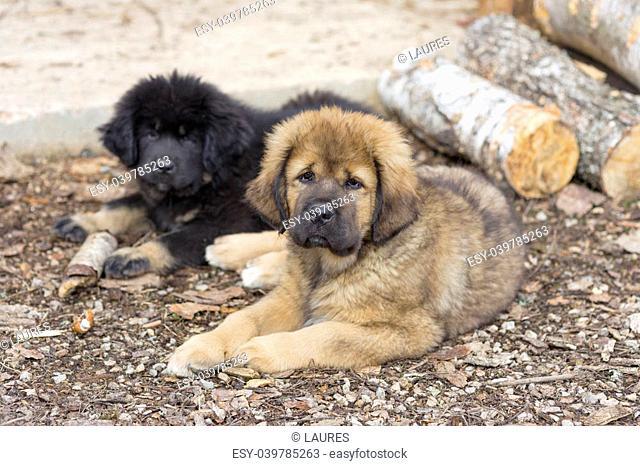 Two cute Tibetan Mastiff puppies lying on ground