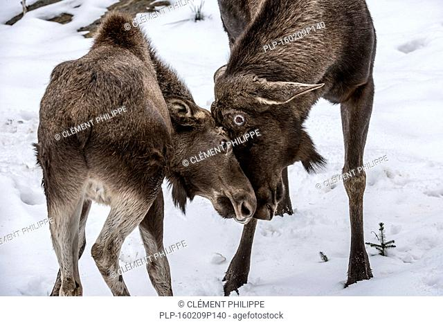 Moose / elk (Alces alces) bull playing with calf by headbutting in the snow in winter