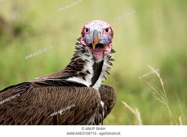 Lappet-faced vulture portrait (Aegypius tracheliotus). Maasai Mara National Reserve, Kenya. Mar 2008