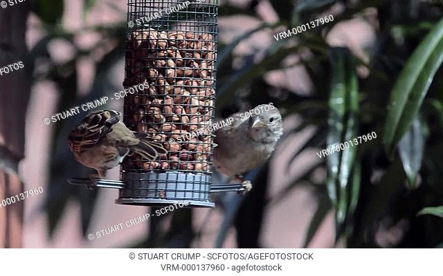 Sparrows eating nuts from a bird feeder