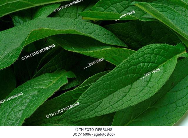 Common Comfrey - medicinal plant - Symphytum officinale -