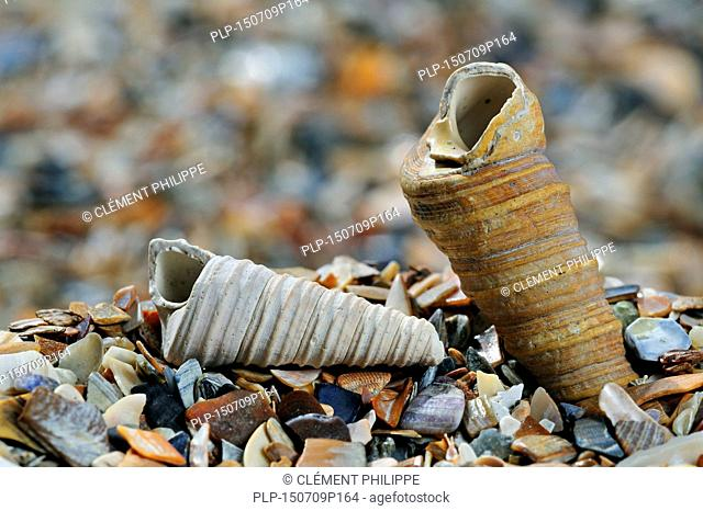 Turret-shell / Auger shell / common tower shell (Turritella communis) fossils on beach
