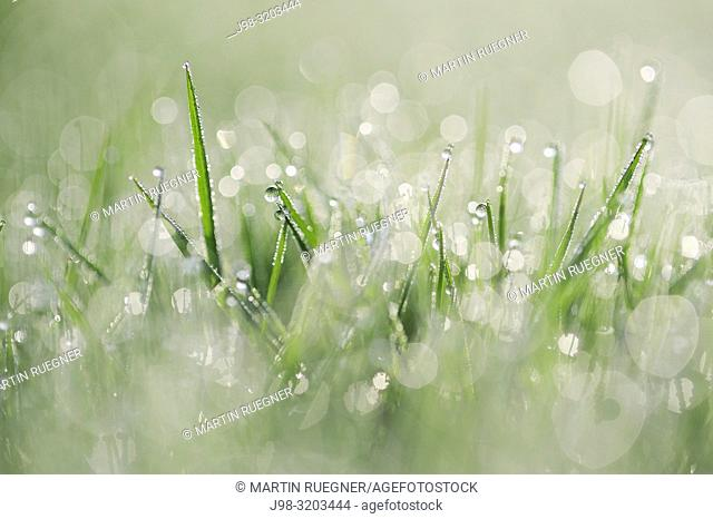 Dew on grass selective focus, close up. Bavaria, Germany, Europe