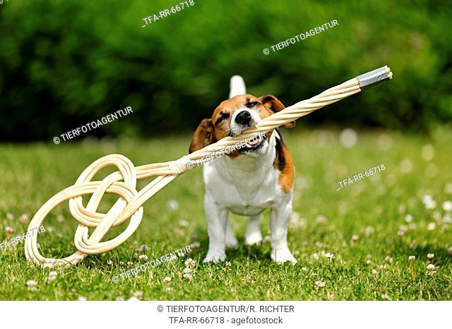 Jack Russell Terrier with carpet beater
