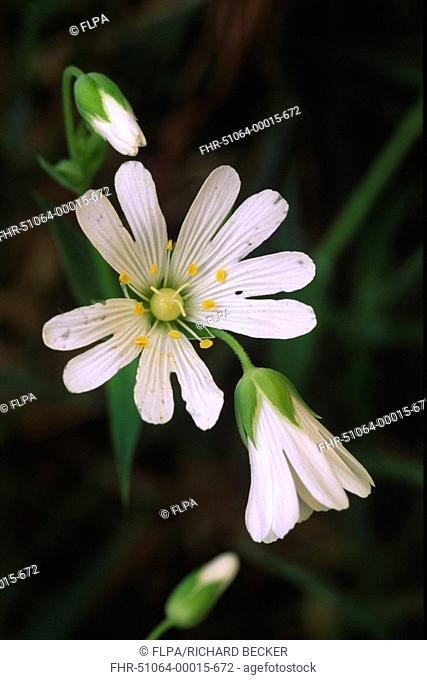 Greater Stitchwort Stellaria holostea close-up of flowers, Powys, Wales