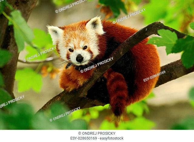 Beautiful Red panda lying on the tree with green leaves