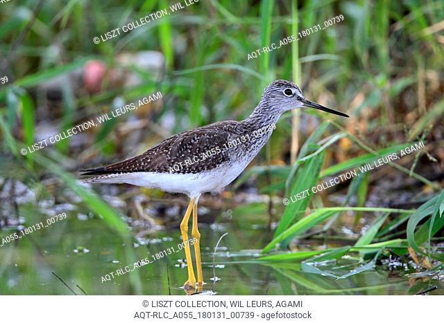 Greater Yellowlegs foraging Tobago, Greater Yellowlegs, Tringa melanoleuca
