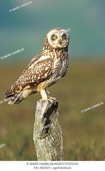 Short-eared Owl (Asio flammeus) adult perched on old post on moorland. UK