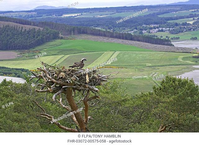 Osprey Pandion haliaetus adult female, at man-made nest, Inverness-shire, Scotland, spring