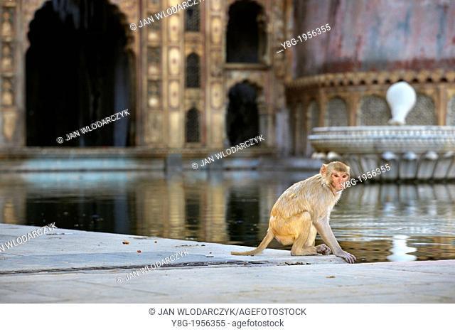 Monkey temple in Galta near Jaipur, Rajasthan, India