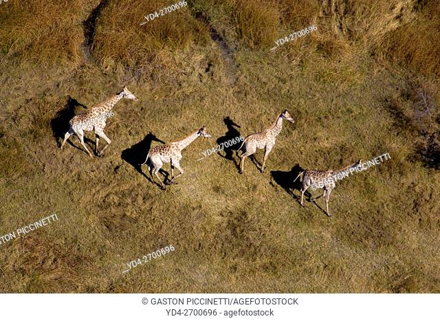 Giraffe (Giraffe camelopardalis), aerial view. Okavango Delta, Botswana. The Okavango Delta is home to a rich array of wildlife