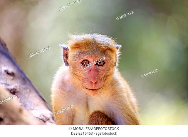 Sri Lanka, Yala national park, Toque macaque (Macaca sinica)