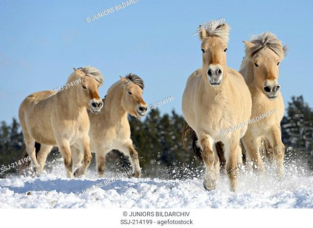 Norwegian Fjord Horse. Four adults galloping in snow. Germany