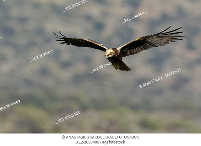 Female Marsh Harrier - Circus aeroginosus, Crete