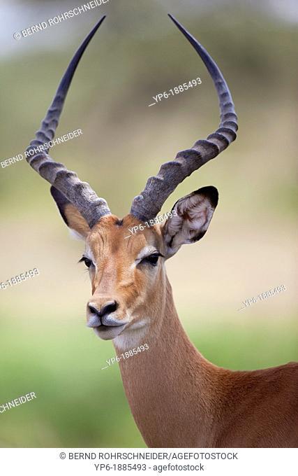 portrait of a male Impala Aepyceros melampus, Serengeti National Park, Tanzania